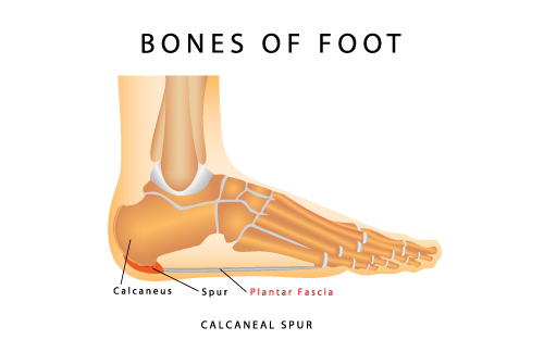 plantar fascia foot ligaments and bones